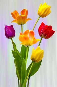 Free Tulips Royalty Free Stock Photos - 31132138