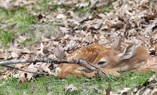 Free Whitetail Deer Fawn Royalty Free Stock Image - 31134626