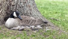 Free Canada Goose Stock Photo - 31134650