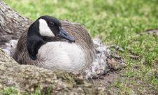 Free Nesting Canada Goose Royalty Free Stock Image - 31134666