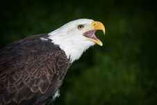 Free Bald Eagle Royalty Free Stock Image - 31135126