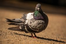Free Pigeon Stock Photo - 31135130