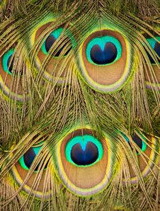 Free Peacock Royalty Free Stock Photography - 31136257