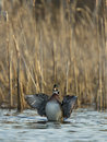 Free Flapping Wood Duck Royalty Free Stock Images - 31142239