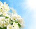Free Flowering Branch Stock Photo - 31149410