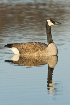 Free Swimming Goose Stock Photos - 31141303