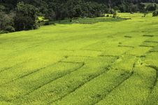 Free Rice Fields Royalty Free Stock Photography - 31144467
