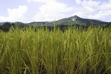 Free Rice Fields Royalty Free Stock Photos - 31144518