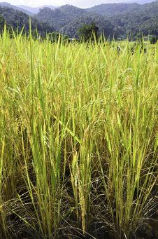 Free Rice Fields Stock Photo - 31144590