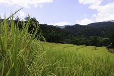 Free Rice Fields Stock Photos - 31144593