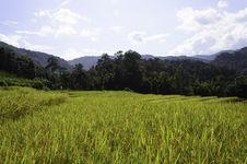 Free Rice Fields Stock Photo - 31144640