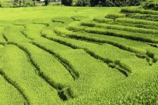 Free Rice Fields Royalty Free Stock Images - 31144779