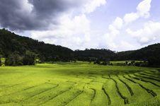 Free Rice Fields Stock Photos - 31144783