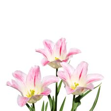 Free White And Pink Tulips On White Royalty Free Stock Images - 31145109