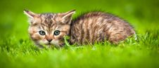 Free Young Cat Stock Images - 31145294