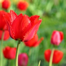 Free Red Tulips Royalty Free Stock Photos - 31145808