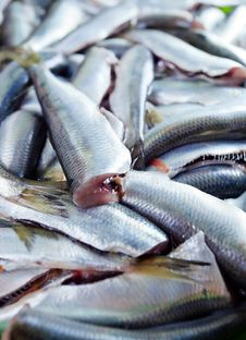 Free Fresh Crude Anchovies Stock Photos - 31146063