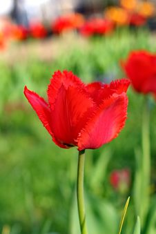 Free Red Tulips Stock Images - 31146174