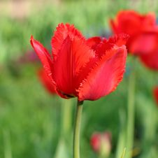 Free Red Tulips Royalty Free Stock Photos - 31146178