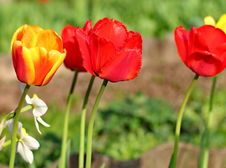 Free Red Tulips Royalty Free Stock Photography - 31146277