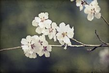 Free Close Up On Spring Blossom With Soft Focus - Old Photo Stock Photos - 31148763