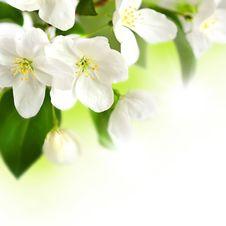 Free Apple Blossom Stock Images - 31149424