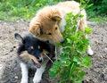 Free Shetland Sheepdog Outdoors Stock Image - 31152991