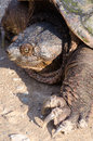 Free Snapping Turtle Royalty Free Stock Photos - 31154378