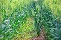 Free Wheats On The Ridges Stock Photo - 31158720
