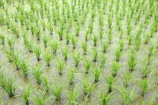 Free Green Paddy Fields Stock Photos - 31150063