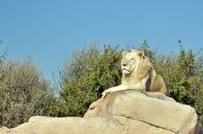 Free White Lion Stock Images - 31150084