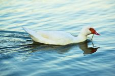 Free White Duck Stock Photos - 31151383