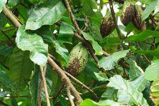 Unripe Cocoa Pod On Tree Stock Photo