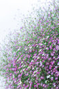 Free Closeup Gypsophila Flower Stock Images - 31163964