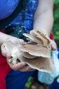 Free Explorer Picking Pleurotus Mushrooms Stock Photo - 31166160