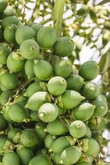 Are-ca Nut Palm On Tree Stock Image