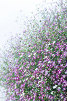 Free Closeup Gypsophila Flower Stock Images - 31163964