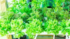 Free Lettuce In The Greenhouse Royalty Free Stock Image - 31164436