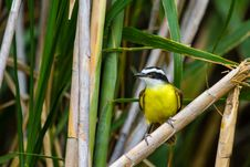 Free Greater Kiskadee Stock Photo - 31166020