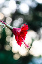 Free Red Hibiscus Royalty Free Stock Photo - 31173145