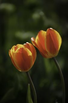 Free Tulips Stock Photography - 31170632