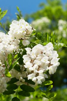 Free Acacia Flower Royalty Free Stock Images - 31171289