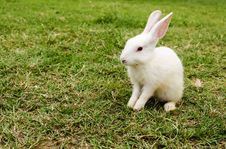 Free White Rabbit Royalty Free Stock Images - 31172429