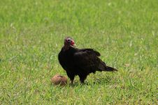 Free Turkey Vulture Feasting Stock Photography - 31174952