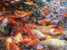 Free Hungry Carp Fish Royalty Free Stock Image - 31179176