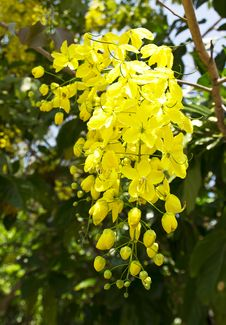 Free Flowers Of Golden Shower Tree Bloom In Summer Royalty Free Stock Photos - 31179188