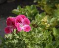 Free Geranium Stock Photos - 31185693
