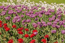Free Tulips Royalty Free Stock Photo - 31180295