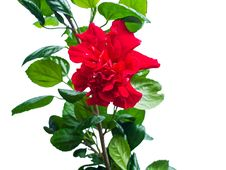Red Chinese Rose Royalty Free Stock Image
