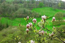 Free Magnolia Blossom Royalty Free Stock Photos - 31183288